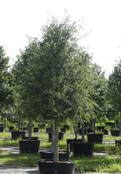 trees for sale in Houston