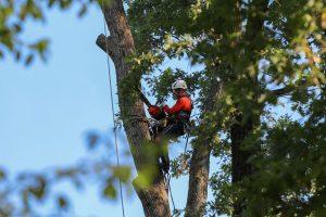 Houston tree removal in Progress